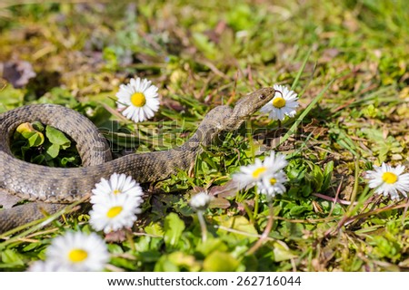 Viper is in the meadow with daisy - stock photo