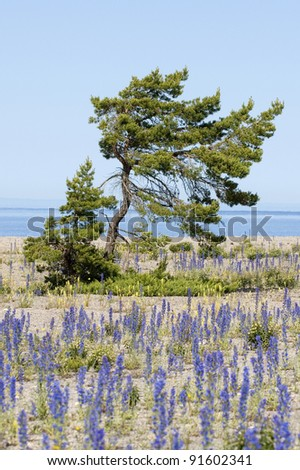 Viper's Bugloss, Echium vulgar wildflowers in full blossom on the island of Gotland in Sweden