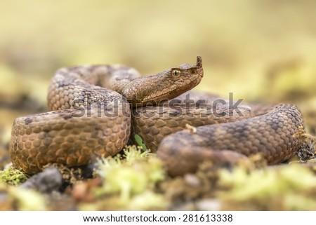 Vipera ammodytes ammodytes - Western nose-horned viper, full body shot - stock photo