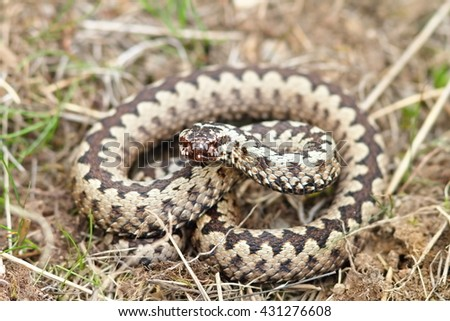 Vipera berus in natural habitat ( european common adder ) - stock photo