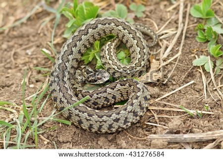 vipera ursinii rakosiensis on habitat ( the rarest european snake, hungarian meadow adder ) - stock photo