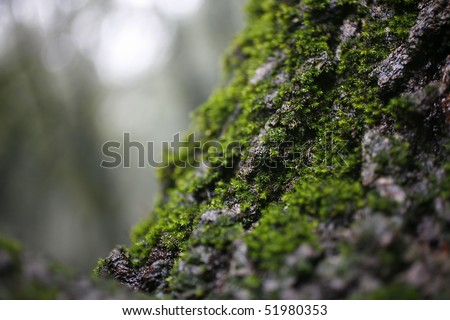 Virgin Forest- mossy tree closeup