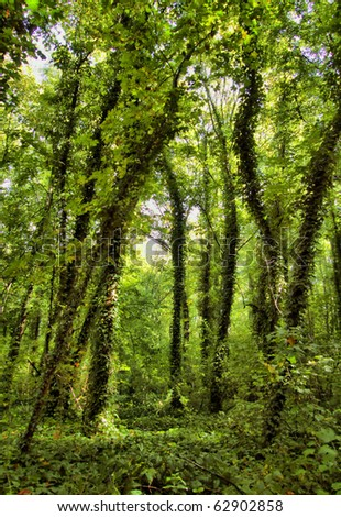 Virgin Forest, trees with ivy - stock photo