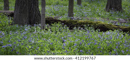 Virginia bluebells encircle a moss-covered fallen log in the spring woods at The Morton Arboretum in Lisle, Illinois.