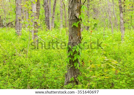 Virginia creeper climbing the trunk of a shagbark hickory tree in a Missouri forest.