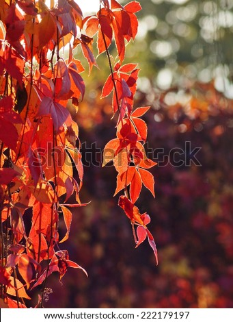 Virginia Creeper, Parthenocissus quinquefolia - wild grape