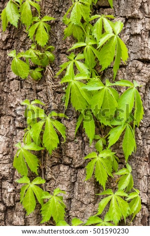 Virginia creeper vine on the trunk of a tree.