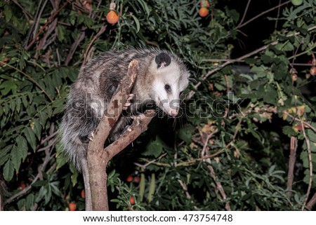 Virginia Opossum (Didelphis virginiana) Los Angeles, California, USA