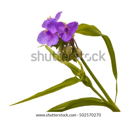 Virginia spiderwort (Tradescantia virginiana)  isolated on white background