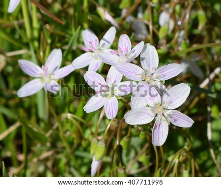 Virginia springbeauty flowers in Mississippi - stock photo