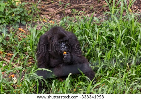 Virunga National Park, DR.Congo - October 5th 2015 - A orphan gorila eating carrot in the Gorilas Orphanet inside the Virunga National Park in DRC, Central Africa.
