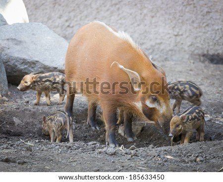 Visayan Warty Piglet with Mother in the Dirt. - stock photo