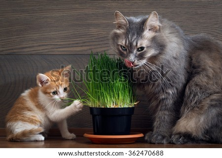 Vitamins for cats - germinated oats. Big cat and little kitten eating the grass and oats. Grass in the flowerpot. Cat gray, grass green.  Germinated oats is useful for cats and kittens - stock photo