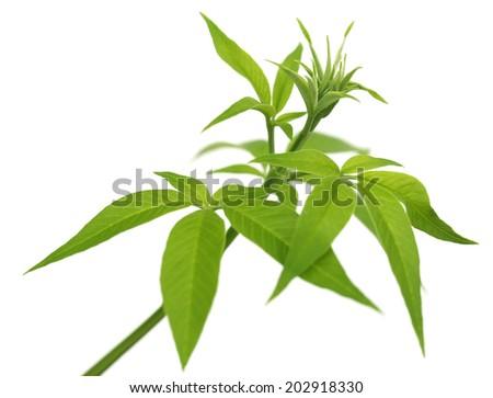 Vitex Negundo or Medicinal Nishinda leaves over white backgroune - stock photo