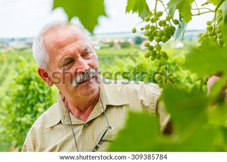 Viticulturist man studying green Muscat Ottonel grape clusters in vineyard - stock photo
