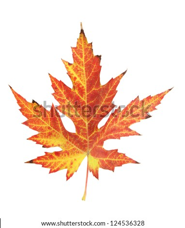 vivid autumn maple leaf isolated on white - stock photo