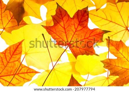 vivid autumn maple leaves on white background  - stock photo