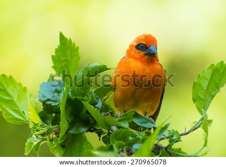 Vivid birds of Seychelles - Red Madagascar Fody (Foudia madagascariensis) sitting on the hibiscus plant - stock photo