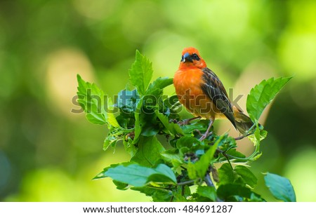 Vivid birds of Seychelles - Red Madagascar Fody (Foudia madagascariensis) sitting on the hibiscus plant