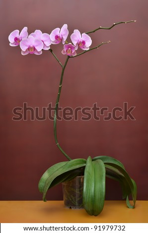 Vivid branch of orchid flowers in flowerpot - stock photo