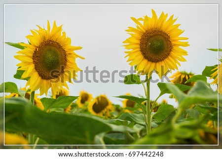Vivid card of flowering sunflowers close-up. Natural bright background for any theme