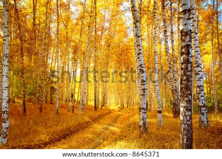Vivid colors of autumn birch forest - stock photo