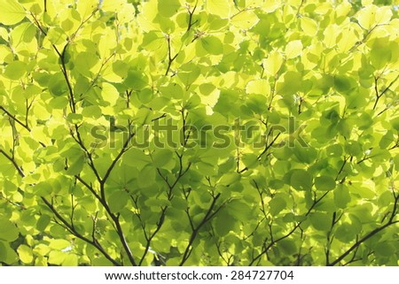 Vivid Green Beech Leaves in Spring, England. - stock photo