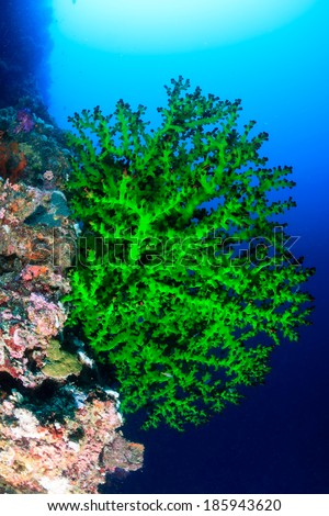 Vivid green soft coral on a tropical reef wall in deep water - stock photo
