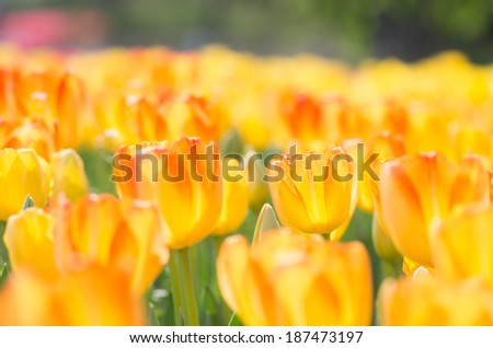 vivid orange tulip flower