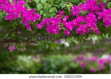 Vivid pink bougainvillea flowers in a garden, shallow depth of field - stock photo