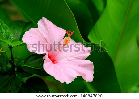 Vivid pink hibicus is blooming - stock photo