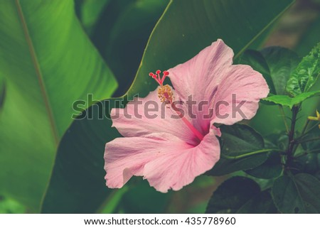 Vivid pink hibicus is blooming (Vintage filter effect used) - stock photo