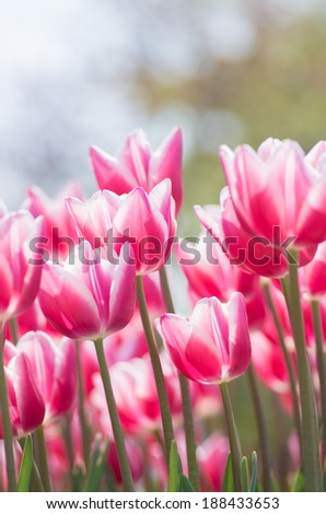 vivid red and white gradation tulip