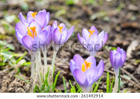 Vivid spring blooming crocuses or saffron sunlit flowers on sunny glade in Alps. Stock photo with shallow depth of field. - stock photo