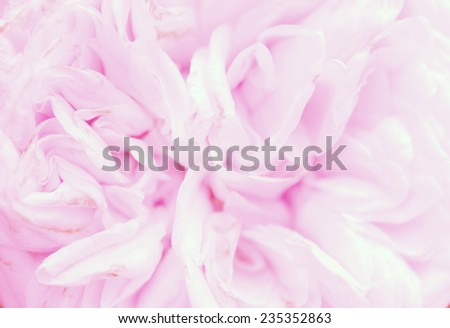 vivid sweet light pink rose petal texture with soft color flower background