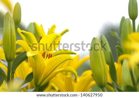 vivid yellow lily flowers