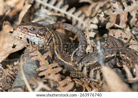 Viviparous Lizard in forest undergrowth/Common Lizard/Viviparous Lizard (Zootoca Vivipara) - stock photo
