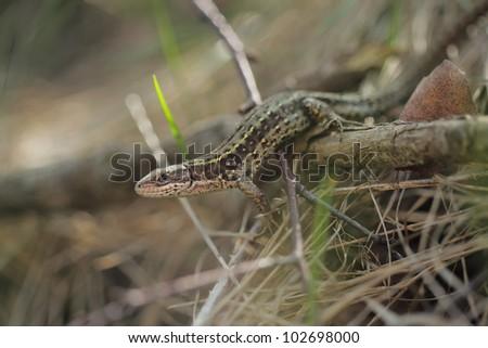Viviparous lizard or common lizard, Zootoca vivipara - stock photo