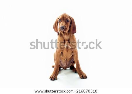 VIzsla dog sitting looking at camera isolated on white background - stock photo