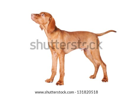 vizsla puppy - stock photo