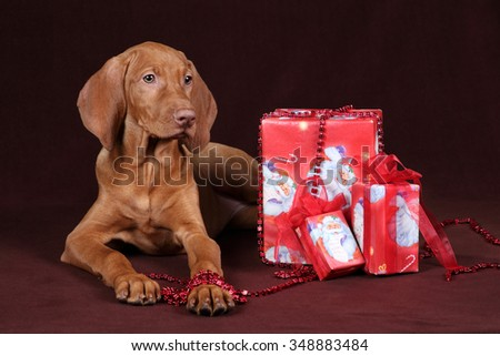 Vizsla puppy with gifts - stock photo