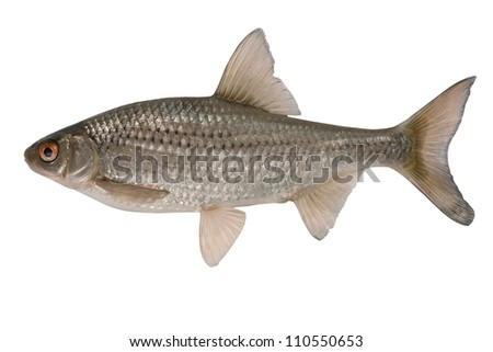 Vobla  most widespread  fish in territory of Asia and Europe.