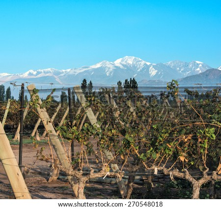 Volcano Aconcagua Cordillera and Vineyard. Andes mountain range, in Maipu, Argentine province of Mendoza - stock photo