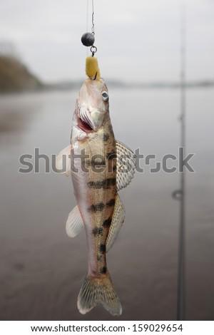 Volga zander (walleye variety) hanging on hook - stock photo