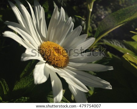 VORONEZH, RUSSIA - JULY 6, 2016: White daisy flower blooming on July 6, 2016 on the country site in Panskaya Gvozdevka, Voronezh Region, Russia
