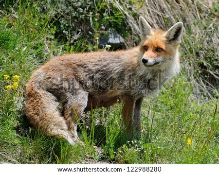 Vulpes vulpes in the grass - stock photo