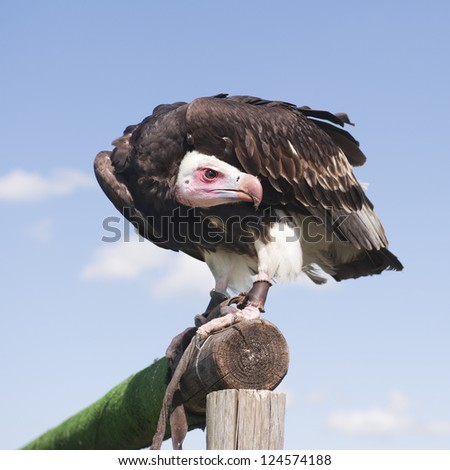 Vulture bird waiting for his next fly