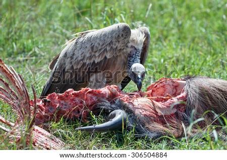 Vulture feeding on a kill. Masai Mara National Park, Kenya - stock photo
