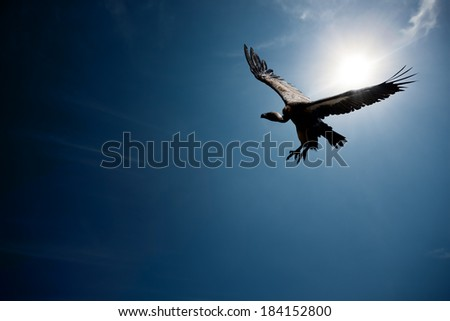 Vulture flying in front of the sun with blue sky (digital composite) - stock photo