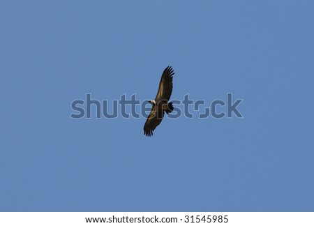 Vulture in African national park - stock photo